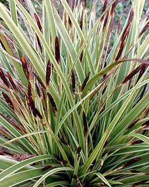 carex morrowii 39 variegata 39 garden pinterest plants. Black Bedroom Furniture Sets. Home Design Ideas