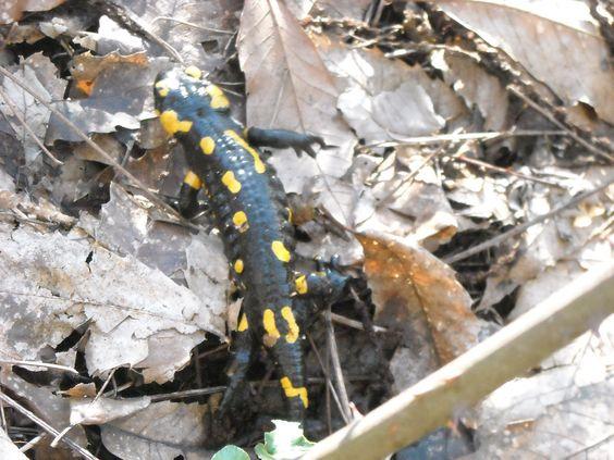 salamandra on the road
