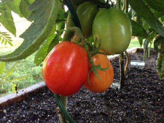 Tomato Roma VF | Plants Map