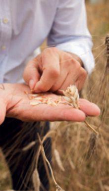 Pastificio inmitten von Weizenfeldern. Massimo Mancini ist der einzige Pastahersteller in Italien, der seinen eigenen Hartweizen verarbeitet.