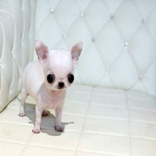 Pug Chihuahua Mix Applehead Teacup Chihuahua Puppies For Sale