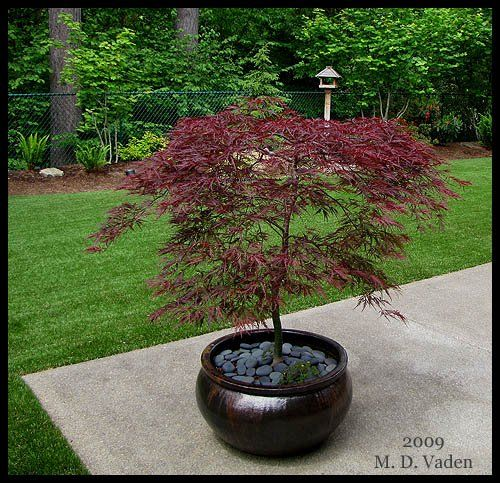 Potted Japanese maple, love the river stones
