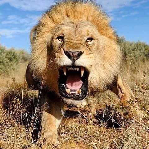 I'm so in love with this beast #lions #animal #animals #liontattoo #pet #teeth #tattoo #wildlife #safai #wild #lovepets #love