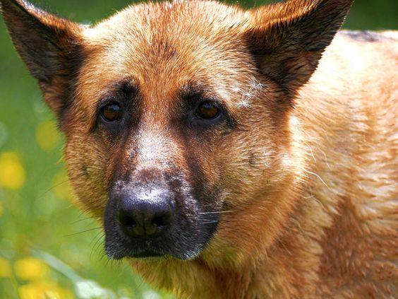 Deutscher Schäferhund   Dog Luxury