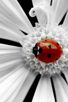 Mariquita roja en flor blanca.