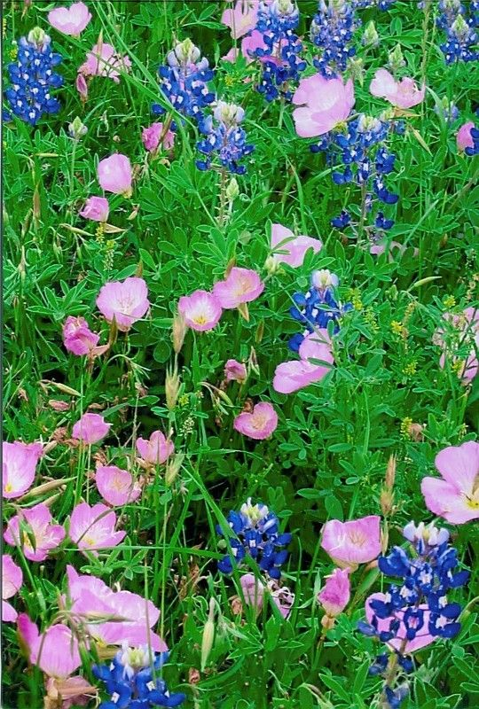 Pink Primroses & Bluebonnets by Karen Roie Forest