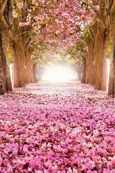 Cerisier du japon fleuri 5
