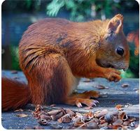 Have you spotted any of these cute little critters? Red squirrels are rare these days but you can still spot them in some of our woods, particularly in Scotland
