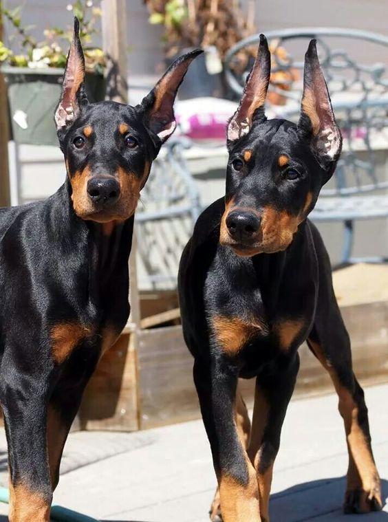 #Dobies - Look at those ears! Aww!