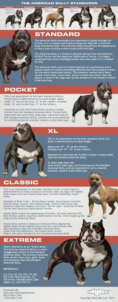 5 Types of American Bully + Infographics • AMERICAN BULLY DOG BREED INFO CENTER