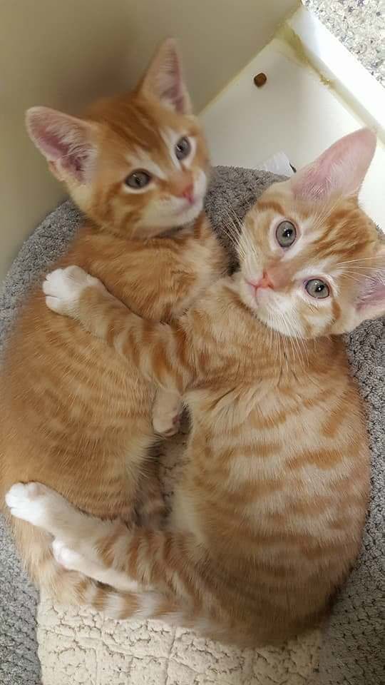 Pinterest Orange Tabby Cats Pretty Cats Cats