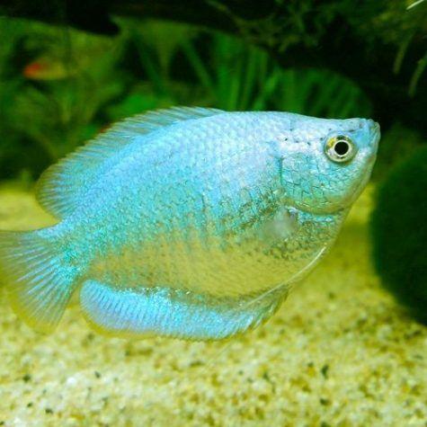 Powder Blue Dwarf Gourami Fish Arizona Aquatic Gardens Pet Fish Betta Fish Freshwater Aquarium Fish