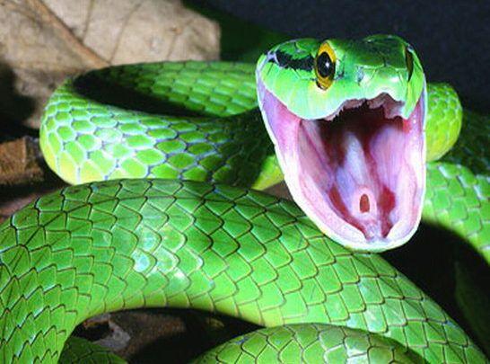 تفسير رؤية الثعابين في المنام كما ورد عن ابن سيرين Black Mamba Snake Snake Reptile Snakes