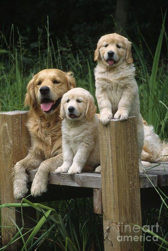 Country Living ~ Golden Retriever family