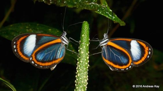 A twin set of glasswing butterflies doubles the wow factor.