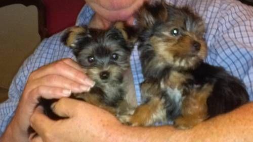 Yorkshire Terrier Puppies Yorkshireterrier Yorkshire Terrier