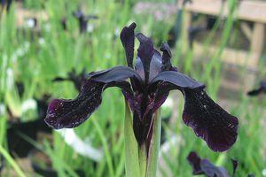 Kosaciec prążkowany (Iris chrysographes)