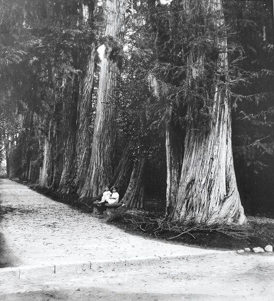 Ahuehuetes en chapultepec 1914