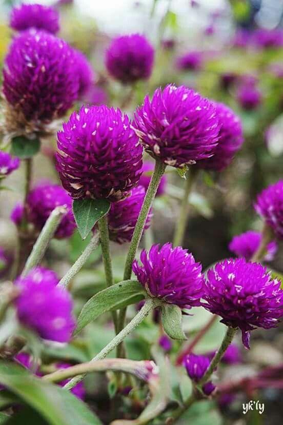 Flores de la yaya