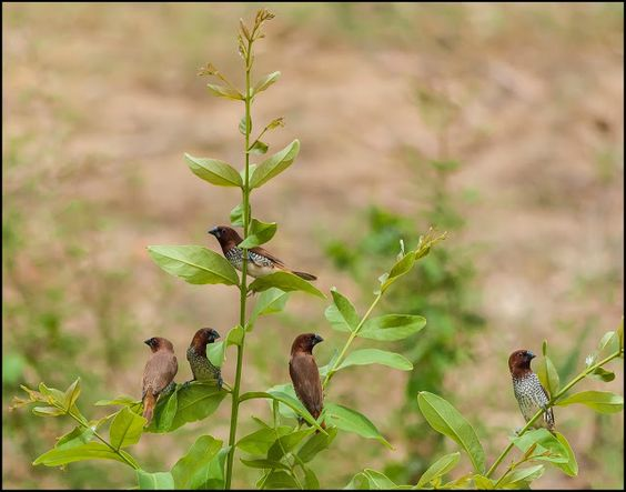 scaly breasted munia, university of hyderabad campus, hyderabad, india…