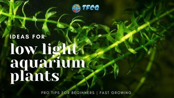 12 Easy Low Light Carpet Plants For Beginner Aquariums Fast Growing Fresh Water Fish Tank In 2020 Fresh Water Fish Tank Planted Aquarium Low Lights