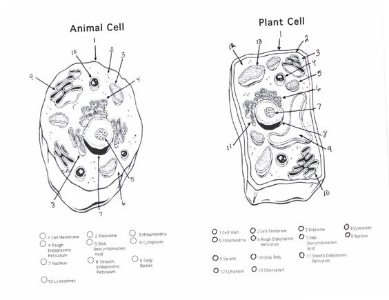 Printables Plant And Animal Cells Worksheet plants note and animal cell on pinterest printable plant should be colored appropriately placed with