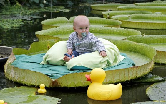 Antoine sits on a giant waterlily leaf during a photo shoot for babies aged under 1 at the National Botanic Garden of Meise, near Brussels