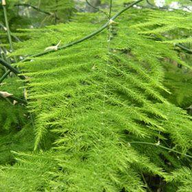 Verdeesvida esparraguera plumosa esparraguera de las - Cuidados de los helechos ...