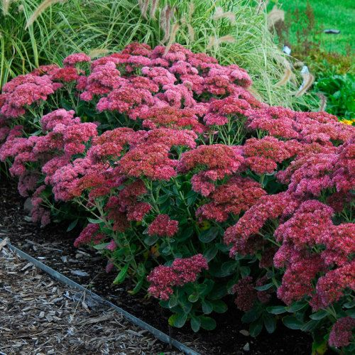 Sedum 'AutumnJoy' covered in a head of vibrant, pink flowers.