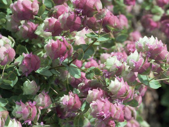 Flowering oregano this low growing trailing subshrub for Low growing flowering shrubs