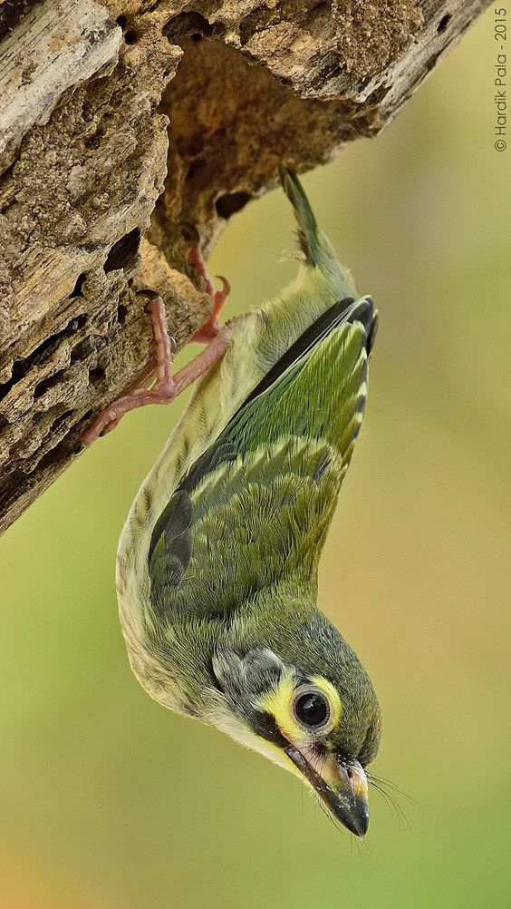 Juvenile of Coppersmith Barbet.