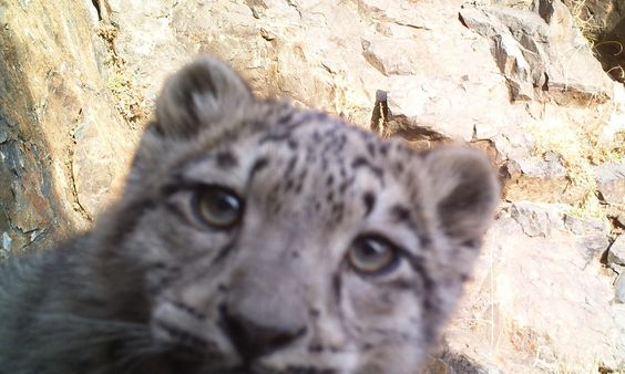 snow leopard in mongolia - Snow leopards are highly elusive and exact numbers are difficult to determine. Camera traps allow scientists to estimate numbers and determine travel routes and follow prey species.
