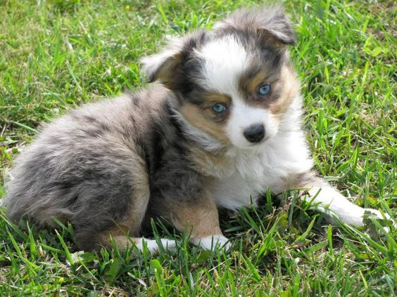 Toy Australian Shepherd Puppies For Sale In Michigan Australian Shepherd Puppies Dogs Puppies