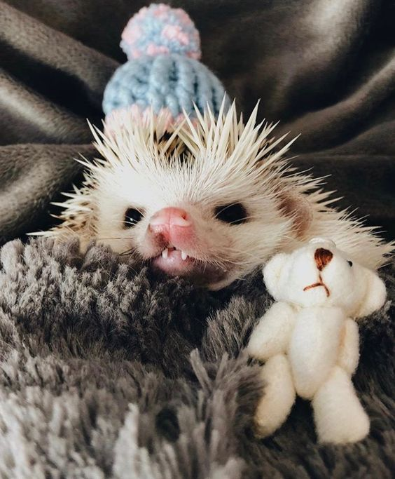 ^..^ The elusive Count Hedgehogula makes an appearance striking fear 😱 in one and all with a single glance at his fangs of fury.... boo!