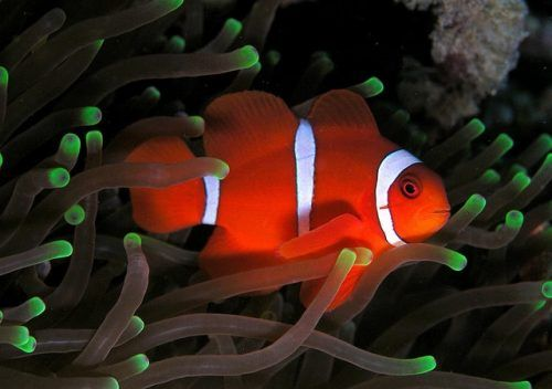 Maroon Clownfish What You Need To Know Before You Buy Saltwater Aquarium Blog Saltwater Aquarium Fish Pet Fish Saltwater Aquarium