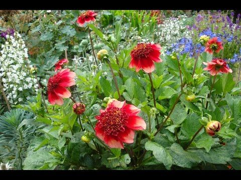 Growing Dahlias In Pots Growing Dahlias Container Plants Dahlia