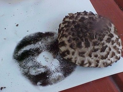 How to collect mushroom spores. This sounds like an interesting project to do with the kids, or yourself.  You can make some unique art, and the article also has a link to teach you how to grow your own mushrooms.