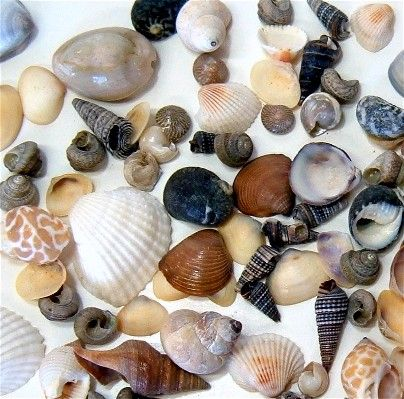 Shells sand crafts receptions and sea shells for Tiny shells for crafts