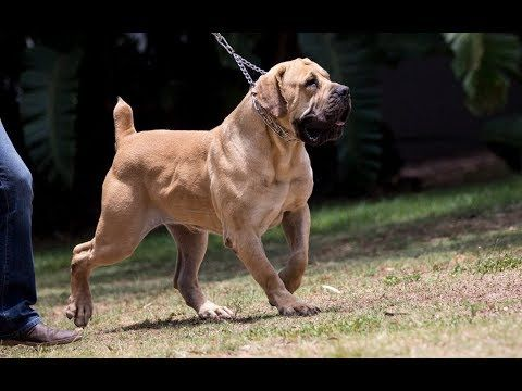 Out Of All Of The Guard Dog Breeds The Boerboel Knows When To