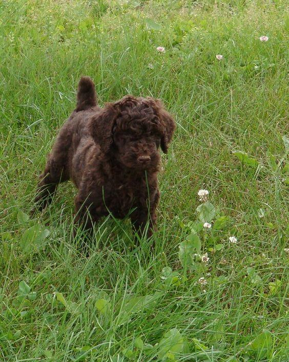 caniche royal brun   chiens mignons   Pinterest   Berger