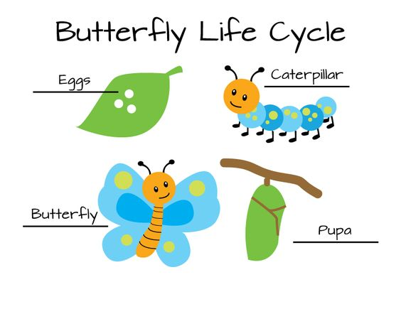 clip art life cycle of butterflys for kids | Butterfly Life Cycle ...