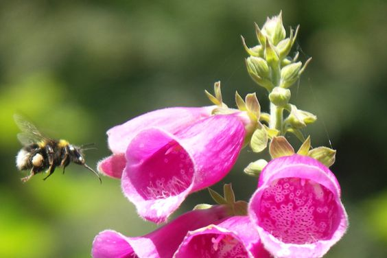 Foxglove and bee