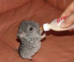 Baby Chinchilla!!: God S, Adorable Animals, So Cute, Babychinchilla, Cute Animals, Baby Animals
