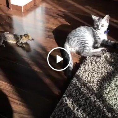 O gato que tem medo de largaticha este dos novo