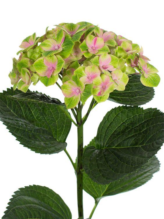 """Hortensie """"Magical Amethyst"""" rosa-grün als Schnittblume - Sasion im Mai, Juni, Juli, Augsut und September"""
