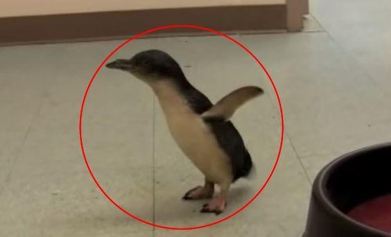 Este bebê faz a coisa mais fofa quando é agradado. Pinguins geralmente não são os animais que vêm à nossa mente quando pensamos em filhotinhos fofinhos que gostam de carinho, mas biscoito não é um pinguim comum... #proteja #salve #animais