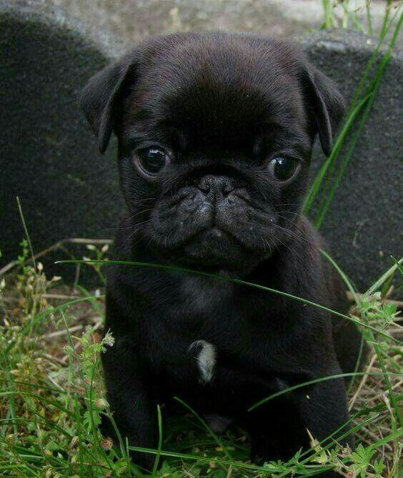 The Fresh Pug Of Bel Air Pug Puppies Baby Pugs