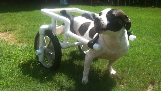 Paralyzed Pit Bull Finds Kindness and Wheels