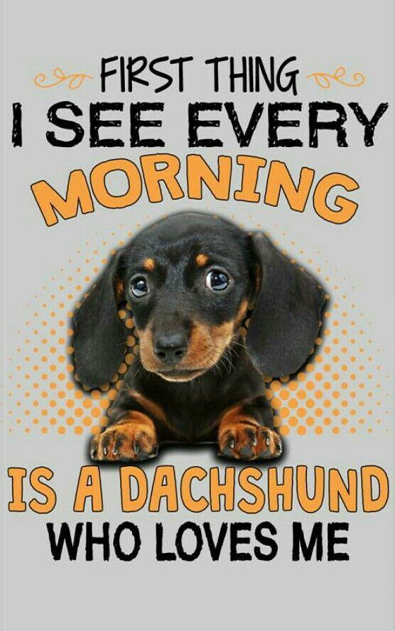 Dachshund Darling Dachshunds Dachshund Dachshund Puppies