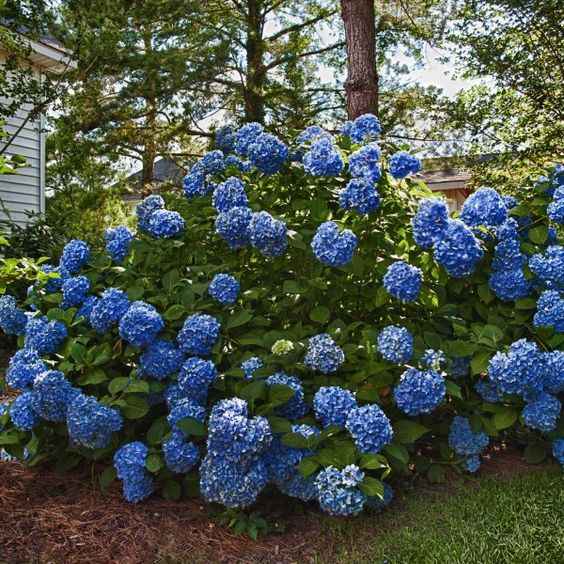 garten pflanzen-hortensie endless summer